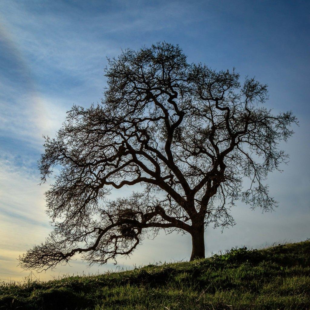 One lone oak tree